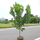 庭木:姫イチゴノキ/ストロベリーツリー(白花) H:約100-120cm