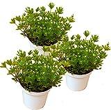 drei Pflanzen Waldmeister