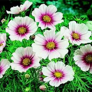 Cosmos- Day Dream- 25 Seeds