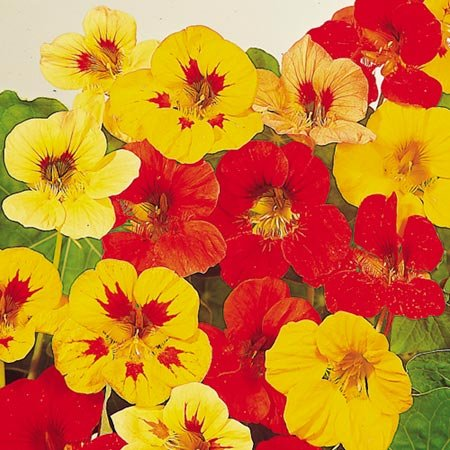 suttons-seeds-124095-nasturtium-little-gem-mix-seed