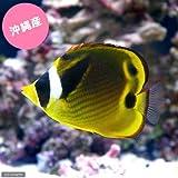 (海水魚)沖縄産 チョウハン(1匹) チョウチョウウオ 本州・四国限定[生体]