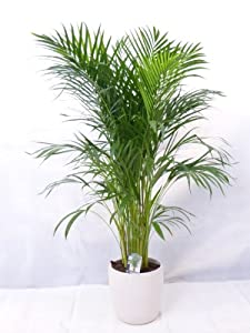 Goldfruchtpalme 130 cm chrysalidocarpus lutescens areca - Zimmerpflanze palme ...