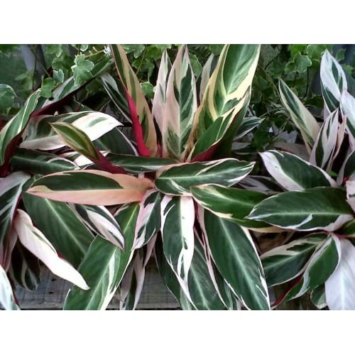 """ *Great House Plant* : Flowering Plants : Patio, Lawn & Garden"