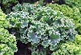 KALE, VATES BLUE CURLED SCOTCH, ORGANIC 50+ SEEDS, NON-GMO, GREAT FOR SALADS, COOKING