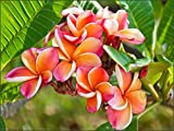"""Rainbow Plumeria - Select Rainbow PLANTS - not cuttings! FRAGRANT Blooms This Summer! Stout 12""""-14"""" well-rooted plant"""