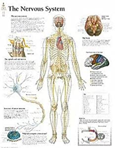The Nervous System chart: Wall Chart