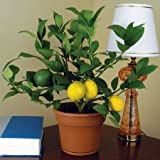 50 Seeds Dwarf Meyer Lemon Tree indoor/outdoor