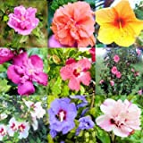 Amazon / Tropical Oasis: Hibiscus syriacus - rose of sharon bulk 100 seeds