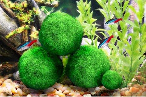 3 luffy giant marimo moss balls about betta fish tanks for Moss balls for fish tanks
