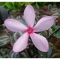 Rare Pink Gardenia - Kopsia fruticosa - Fragrant - Indoors or Out - 4