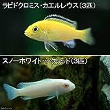 (熱帯魚)ラビドクロミス・カエルレウス(3匹) + スノーホワイト・シクリッド(3匹) 本州・四国限定[生体]