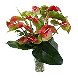Deluxe Red and Green Anthuriums
