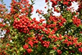 Pyracantha Coccinea Red Column Shrub - 2L