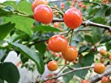 【6か月枯れ保証】【春・夏に収穫する果樹】サクランボ/暖地さくらんぼ 15cmポット