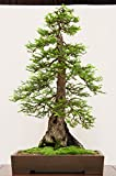 15 Seeds Sequoia Sempervirens (Sequoia Coast Redwood Tree) Bonsai