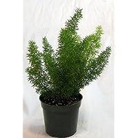 Foxtail Fern - Asparagus meyeri - 4