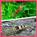 【バリューセット】▼レッドチェリーシュリンプ(約1.5cm)(3匹)  + ニュービーシュリンプ(約1.5cm)(5匹)[生体]
