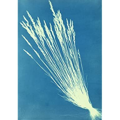 Fescue Grasses, by Anna Atkins (Print On Demand)