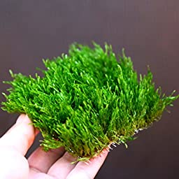 Flame Moss pad -Live aquarium plants water low light kh **No pesticides**