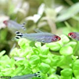 (熱帯魚)ラミーノーズ・テトラ(ブリード)(12匹) 北海道・九州・沖縄航空便要保温