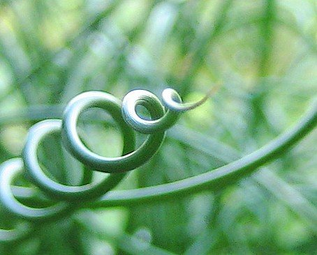 Curls of Love 20 Seeds - Juncus filiformis -Indoors/Out