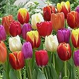 Van Zyverden Triumph Mixture Tulips (Set of 50 Bulbs), One Size, Multicolor