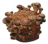 しいたけ栽培キット 菌床2個入り 家庭で採れる新鮮な椎茸