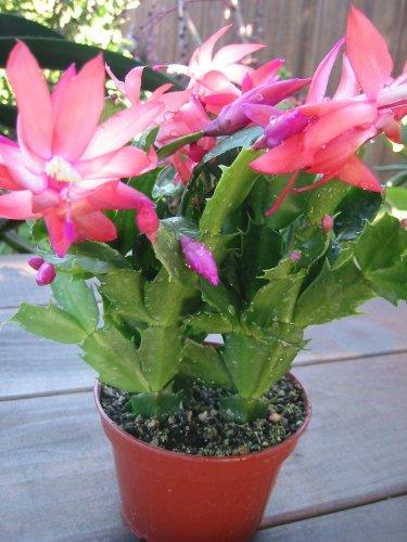 Galleon christmas cactus zygocactus truncatus 10 seeds for Gardening tools quizlet