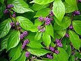 'Early Amethyst' Beautyberry - Callicarpa - Shrub/Bonsai