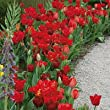 Endless Spring Red Blend Tulip Mixture-- 15 Nice, Fat Bulbs! Value Pack!