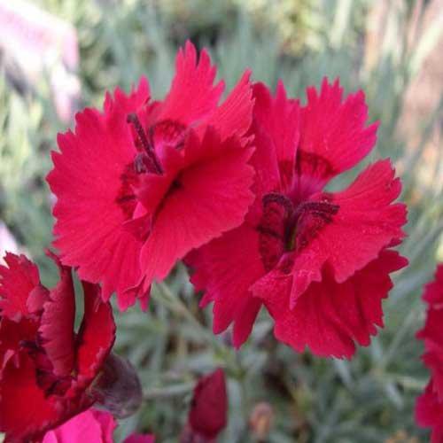 DIANTHUS RUBY-Superb Gift For Girls Birthday,Christening,Her,Girl,Mum,Mom,New