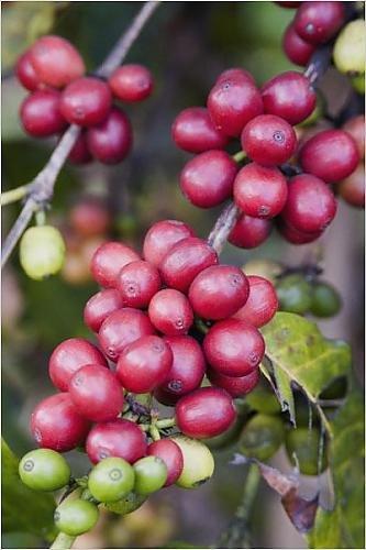 Photographic Print Of Ripe Coffee Berries