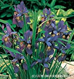 Siberian Iris Caesar's Brother