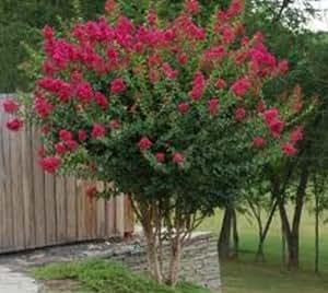 Amazon.com : Tonto Fuchsia Red Crape Myrtle Tree - Live Plant - 1.5