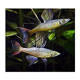 (熱帯魚・レインボーフィッシュ)ニューギニアレインボー オス 10匹