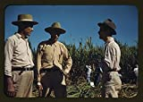 Photo: Sugar cane workers,vicinity of Rio Piedras,Puerto Rico,Agriculture,Jack Delano