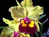 Lawn & Patio - Blc. Krull's Lemonade 'Sunshine' orchid, blooming size in 3.5 inch pot, fragrant