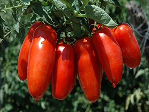 10 seeds Omega F1 Hybrid Tomato Seeds - Heat tolerant & Very Productive!!! (Heat Tolerant Tomato Seeds compare prices)