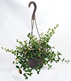 "Hirt's Goldfish Plant - 6"" Hanging Basket - Blooms Frequently!"