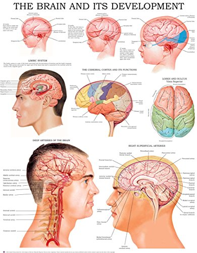 The brain and its development e-chart: Quick reference guide (Nerve Function Chart compare prices)