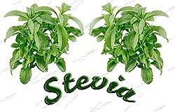 200 Real Stevia Seeds Chinese Herb Green Herb Rebaudiana Semillas For Garden Planting Bonsai