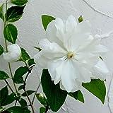 バイカウツギ(梅花ウツギ):イノセンス4号 2株セット[黄散斑葉に純白の花が美しい花木]