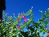 クフェア(メキシコハコヤナギ )紫花 ポット苗木 常緑低木♪