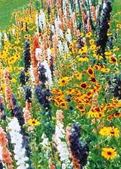 Wildflower Butterfly Hummingbird Mix DGS30062A (Multi Color) 500 Open Pollinated Seeds by David's Garden Seeds