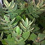 PACK OF 3 Hebe Silver Dollar - Evergreen Shrub Grown in a 9cm Pot - Garden Plants