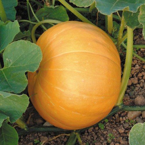 Suttons Seeds 175587 Hundredweight Graines de citrouille
