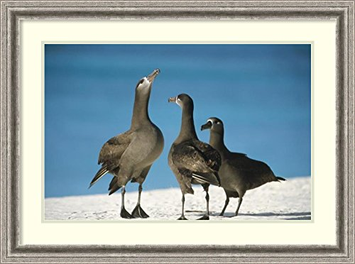 framed-art-print-black-footed-albatross-gamming-group-midway-atoll-hawaii-by-tui-de-roy