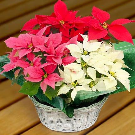 ポインセチア「クリスタル8号」・赤、白、ピンクの豪華3色寄せ植え