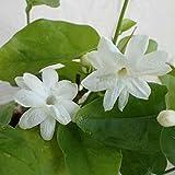 ジャスミン:アラビアジャスミン(マツリカ・サンバク)3.5号 2株セット[すばらしい香りの花!]