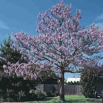 Royal Empress Tree Seeds-Paulownia Tomentosa-100+Seeds